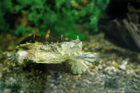 blooded: Image of freshwater exotic turtles Matamata
