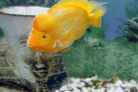 cichlasoma: image of a beautiful aquarium fish Amphilophus citrinellus