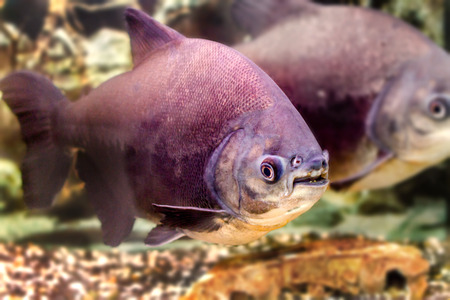 pacu: image of a beautiful aquarium fish black pacup