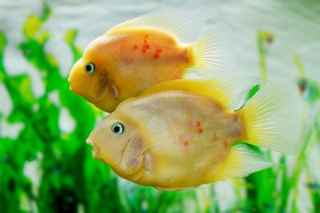 image of a beautiful aquarium fish Amphilophus citrinellus