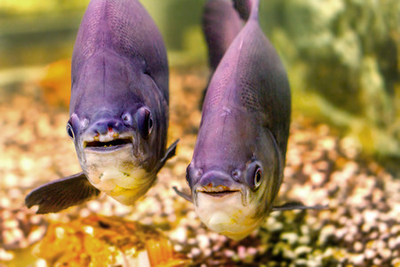 pacu: image of a beautiful aquarium fish black pacu