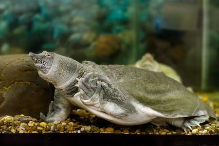 freshwater turtle: Image of freshwater exotic Chinese softshell turtle