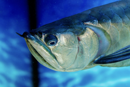 freshwater fish: Image Arovana tropical freshwater fish in the aquarium Stock Photo