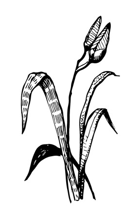 ink sketch: a vector lily flower ink sketch graphics
