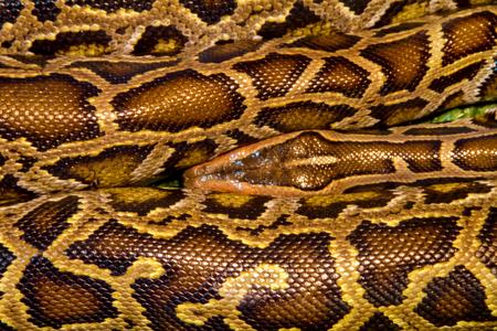 strangler: a Image animal reptile spotted a boa