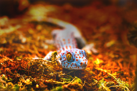 tokay gecko: the image of an exotic animal tokay gecko lizard