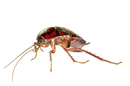 revolting: image on a white background homemade insect cockroach Stock Photo