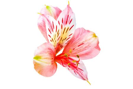 Image isolated garden flower Alstroemeria on a white background Stock Photo