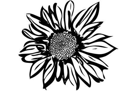 vector image of a beautiful autumn flower chrysanthemum
