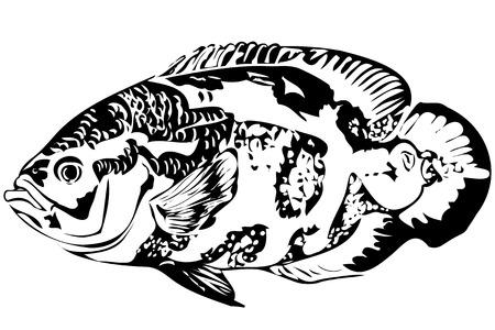 astronotus: image of a beautiful aquarium fish Astronotus Illustration