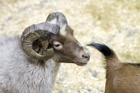 a pet picture ram with horns of a goat is