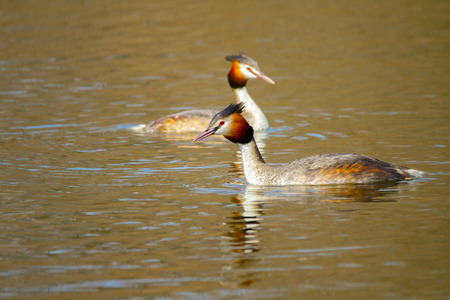 Image of an animal pair of wild birds Podiceps cristatus floating on water