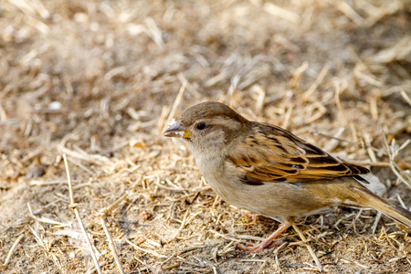 Image wild animal bird sparrow on the ground looking for food