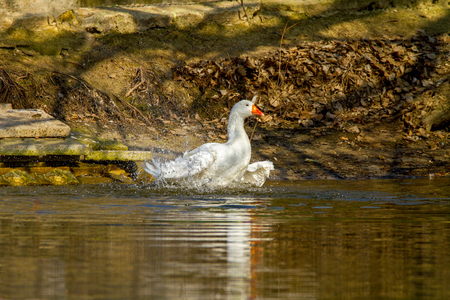 Image of a pet a white goose swims on a pond