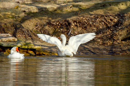 Image of a pet a white goose on a pond spread its wings
