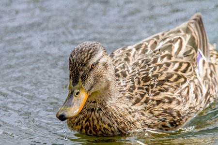Image of a wild duckling floating on a river