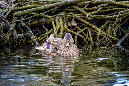 Image of a wild duck floating on a river along the shore Stock Photo
