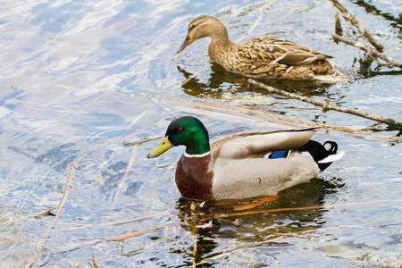 freshwater bird: Image of an animal a wild drake and a duck sail on a pond