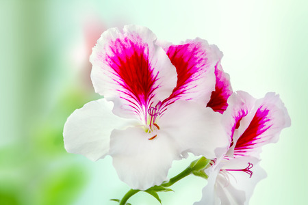 Image of a beautiful houseplant pelargonium blossomed white-purple flowers Stock Photo