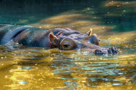 Image of a large mammal of a wild animal, hippopotamus in water