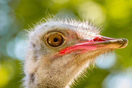 Image of an animal big bird of an ostrich Stock Photo