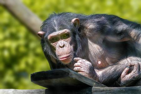 chimpances: Imagen animal de un mono antropóide de un chimpancé