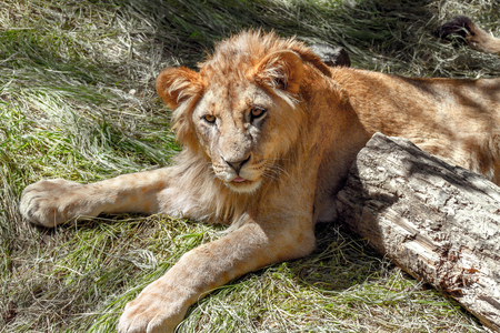 Image of an animal young lion lying on the grass