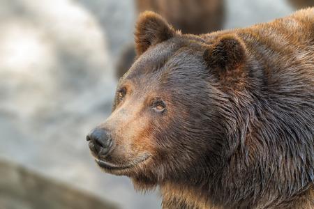 Afbeelding van een dierensnoer van een grote bruine beer roofdier