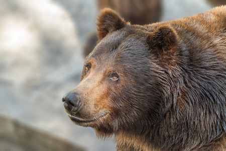 Image of an animal muzzle of a large brown bear predator