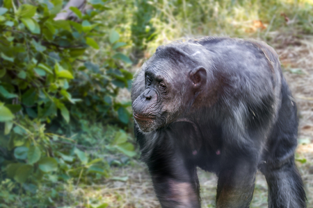 chimpances: Animal image of an anthropoid ape of a chimpanzee Foto de archivo