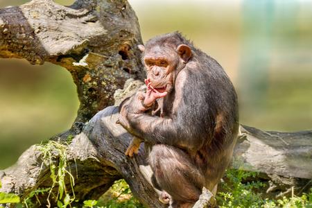 Image of a female chimpanzee holding a calf Stock Photo