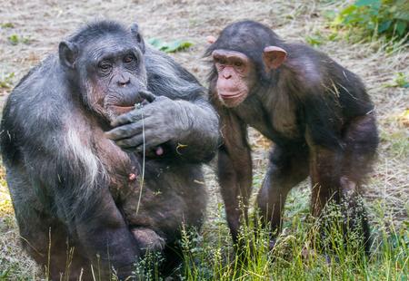 pezones: mago de dos animales hembra de chimpancé con cachorro