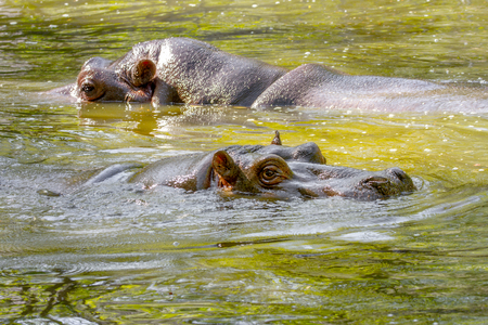Image of a Two large mammal of a wild animal, hippopotamus in water