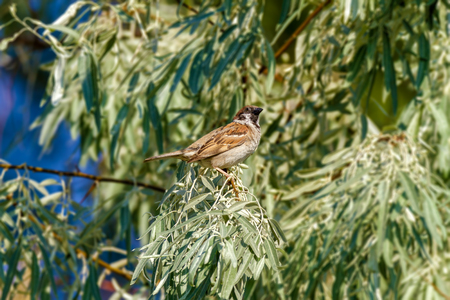 Image of an animal sparrow sits on the branches of a wild olive tree