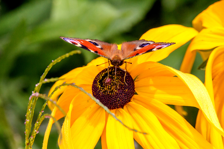 Image of a peacock eye butterfly sitting on a yellow flower