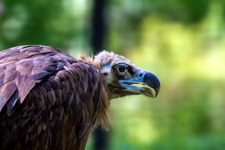 scavenger: Image head of a large vulture bird