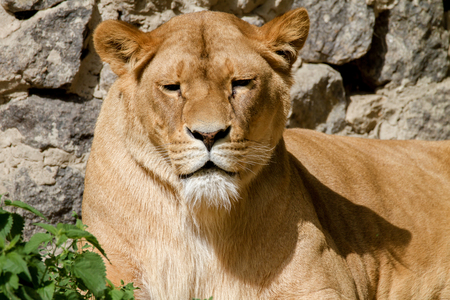 Image An animal is an adult lioness lying and staring Stock Photo