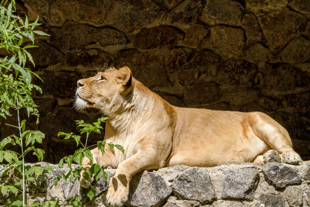 lion tail: Image An animal is an adult lioness lying and staring Stock Photo