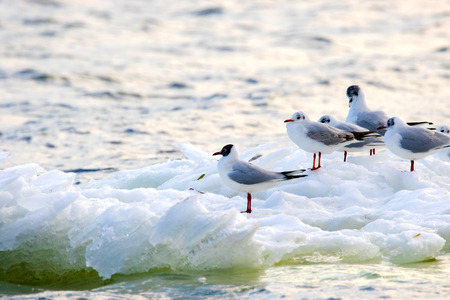 an image of feathered seagulls floating on an ice floe along the river