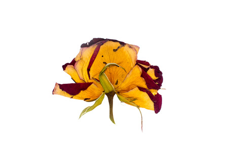 image of a dried rosebud on white background