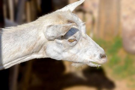 an image of a white goat poked its head out of the pen