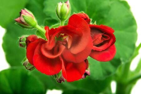 image indoor flower geranium pelargonium bloomed in red flowers