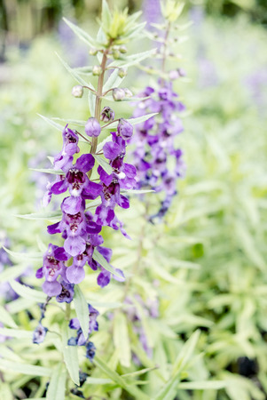hyssop: Close up the purple flowers of Hyssop, image with selective soft focus