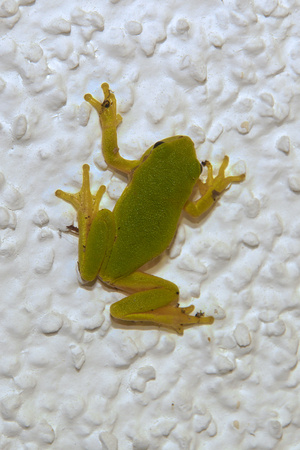to be or not be: Do not be a frog! Little frog sticks to the white house wall