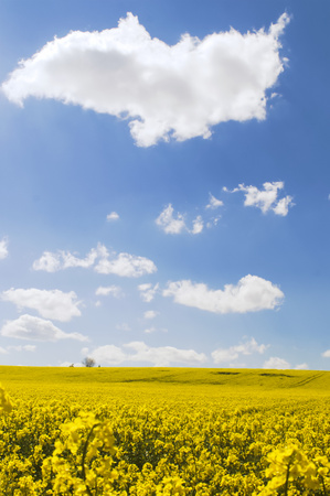 co2 neutral: Yellow canola field in the sun with blue sky and clouds as eye-catcher in a rural area
