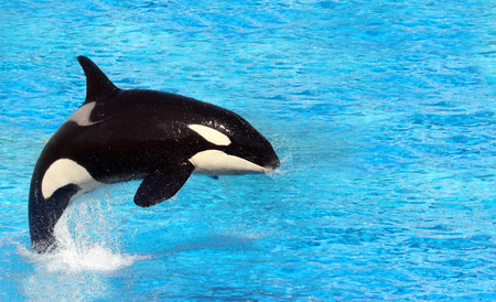 Big killer whale jumping on water
