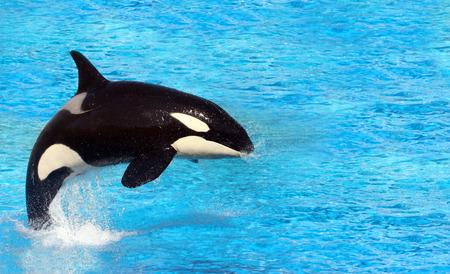 ballena: Grandes Orca saltando sobre el agua Foto de archivo