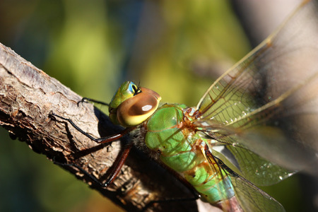 Close up of beautiful green dragonfly on the branch photo