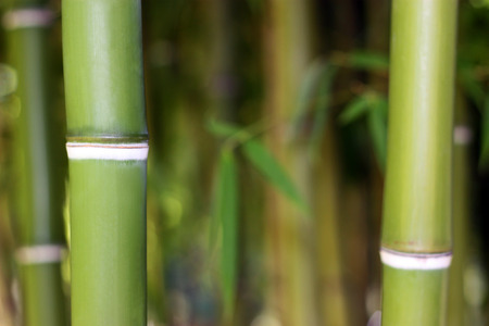 bamboo plant: Young Bamboo