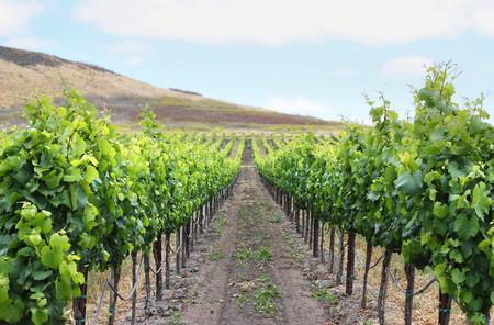 napa: Grape vineyard in Napa, California